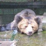 A Bear Having A Soak