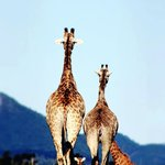 giraffes walking away