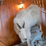 'Hunting Trophy' Mountain goat