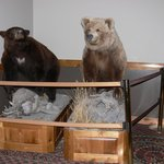 'Hunting Trophy' Black bear (left) Grizzly Bear (right)
