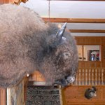 'Hunting Trophy' Bison/Buffalo