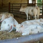 Alice's cows