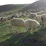 高原上的羊·