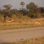 impala au decolage