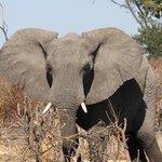au plus pres des elephants