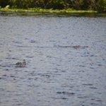 gator's swimming
