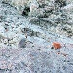 Rock Wallaby - look carefully