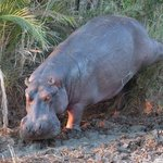 Hippo on the banks of the St Lucia Estuary