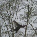 Wild male orang-utan