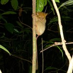 Gorgeous tarsier on a night walk