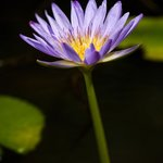 A waterlily on one of our many dams