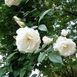バラが美しく咲いていました