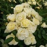 ブーケのような黄色いバラ