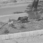 Los cerdos que viven sueltos alrededor (sin simpáticos :) )