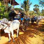 these guests had been riding by Ox-cart to see the farmer's life over there.