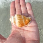 Fighting Conch shell at Turtle beach