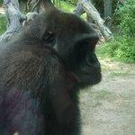 Esemplare di gorilla di montagna