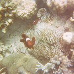 Clownfish at the reefs