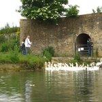 Swans at The Trout, Tadpole Bridge