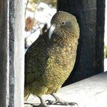 Kea - Alpine Parrot
