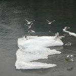 Gulls on iceberg in Glacier Bay