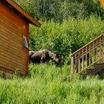 Elch direkt hinter der Lodge