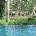elephants passing infinity pool