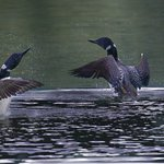 LOONS ON TROUT LAKE