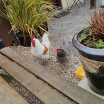 chickens join us for breakfast outside the farm shop :)