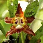 Huntleya orchid in the rainforest