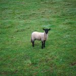 Lamb outside our room