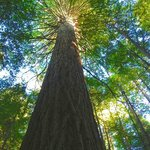 Redwood Forest reaching for the sun