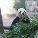Any question why Pandas are the WLF spokes-species?
