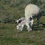 twin lambs born 3 July 2013
