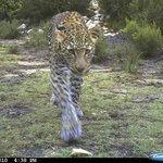 Leopard roaming the property