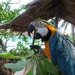 Chained Macaws