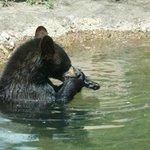 Great black bear exhibit with some of the most active bears we have ever seen
