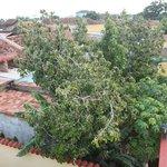 Avocadobaum im Garten