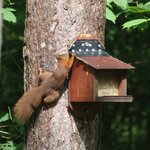 Red Squirrel at the food box