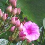 Fleur de la selva