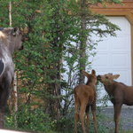 Mama Moose with babies as we approached cabins