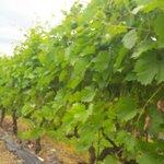 Vignoble Gagliano vines