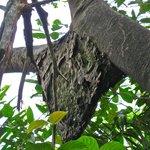 Termite nest in the trees via the tram ride