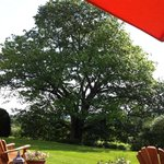 The spectacular 300 year old oak tree in the backyard.