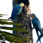 blue and yellow macaws