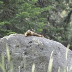 King of the Forest-Marmot on trail
