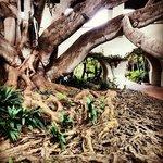 Bay Fig Tree near the Spa