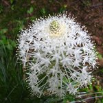 Bear Grass in Bloom, Cougar Rock Campground