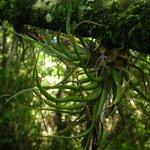 "Tillandsia pruinosa - the ""fuzzywuzzy"" airplant"
