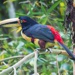 Wild toucan